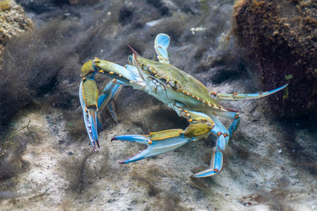 A wary Blue Crab (Callinectes sapidus) scours the bottom of a sandy beach in shallow water searching for food. The Blue Crab is economically important along the east coast of the U.S.